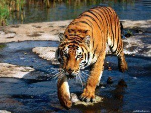 Los tigres de Vladivostok; Rusia